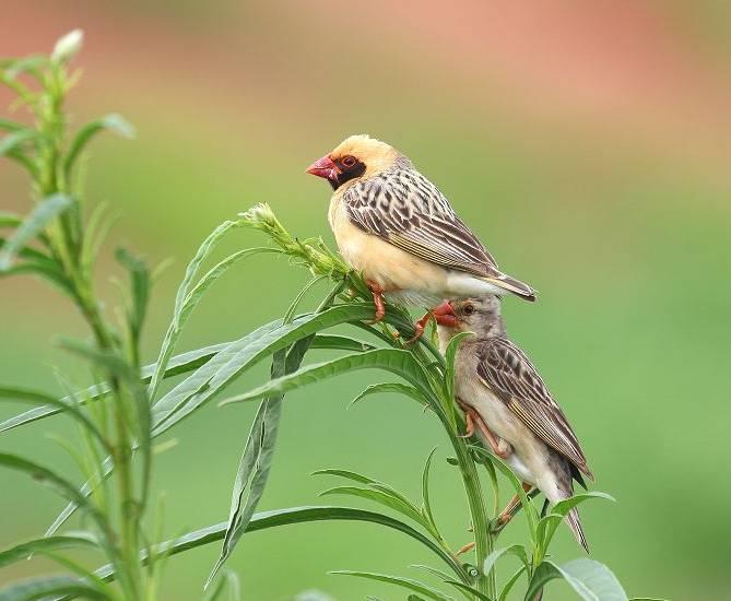 世界上数量最多的鸟类竟然是鸡